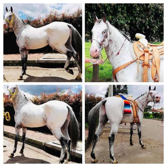 <strong>caballo</strong> Reproductor Raza Appaloosa Puro