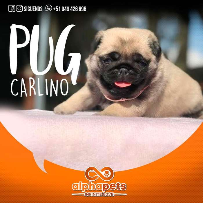 CACHORROS PUG CARLINO EXCLUSIVOS - ENVIÓ NACIONAL E INTERNACIONAL ALPHA PETS