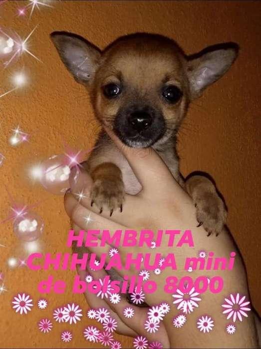 Chihuahua Machito Y Hembrita