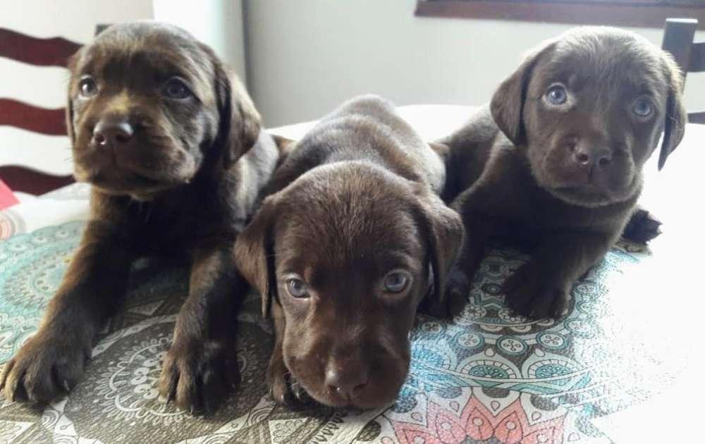 Chocolate Cachorros Labrador