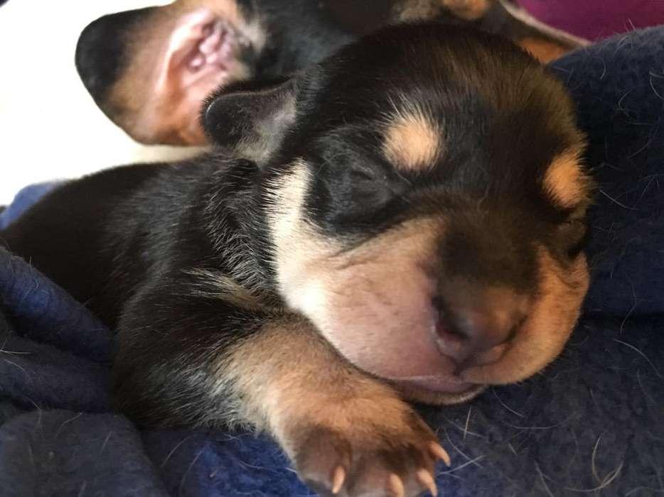 para Adopcion Hermosos Cachorritos 1 Mes
