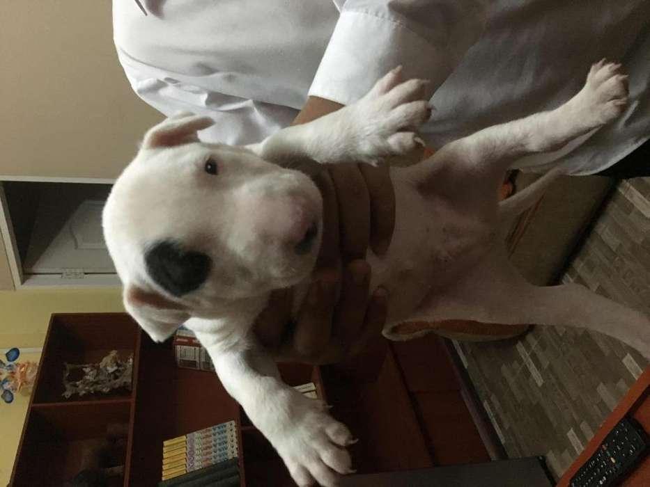 Venta de hermosos cachorros de pura raza Bull Terrier
