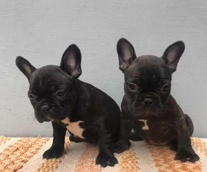 Poderosos <strong>bulldog</strong> Frances en Venta