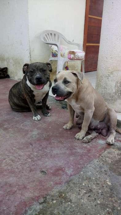 Cachorros Amercan Bully en Venta