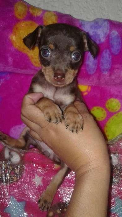 Cachorrita Mini Pincher
