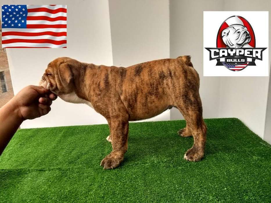 Bulldog Ingles <strong>cachorro</strong>s