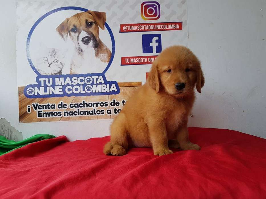 Famosos Golden Retriver Original