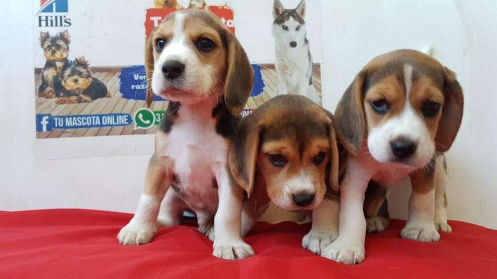Ejemplares Beagle Tricolor Elegantes