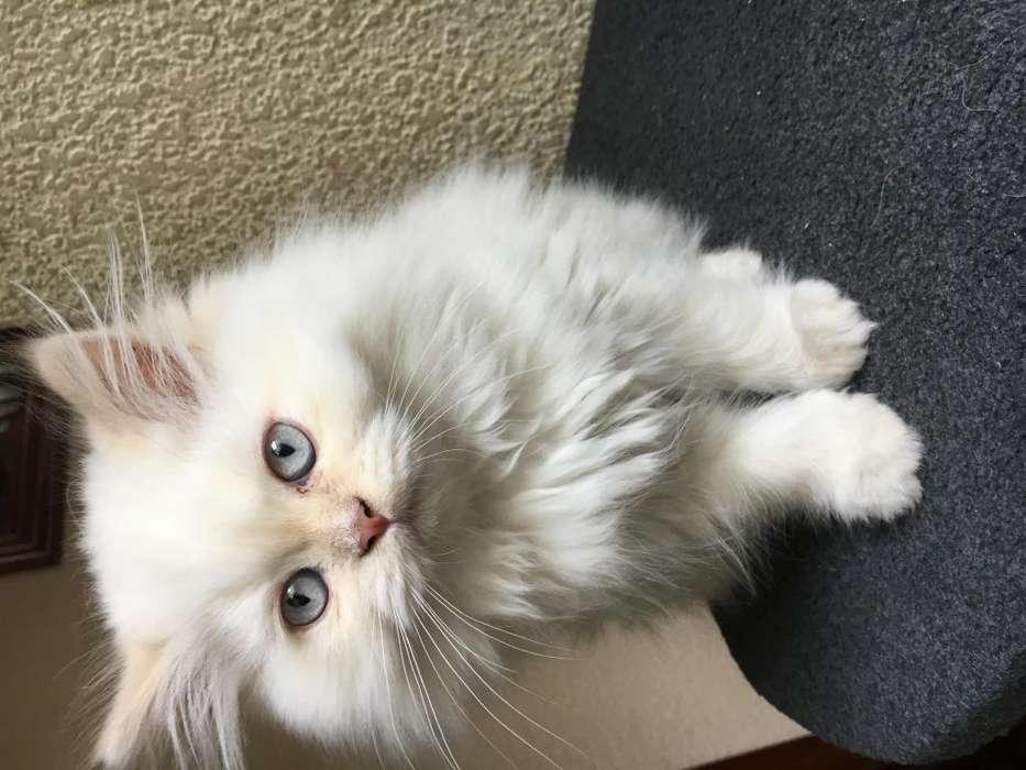 <strong>gato</strong> persa en venta.