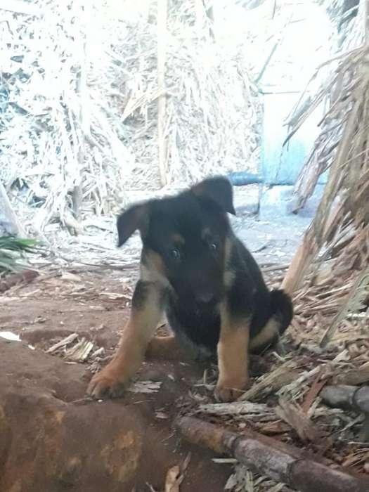 Vendo <strong>perro</strong>s Pastor Aleman