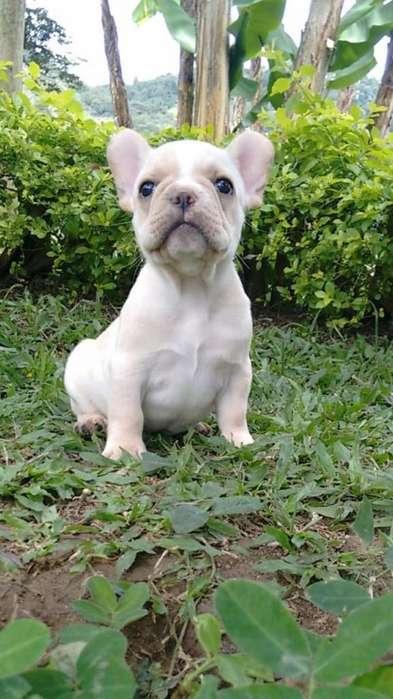<strong>bulldog</strong> Frances Crema