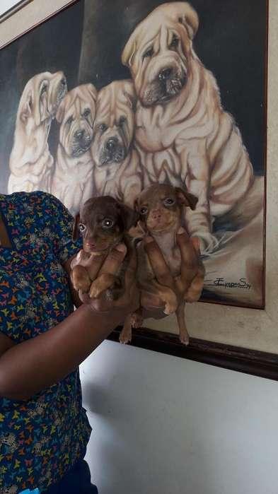 Mini Pinscher Cachorritos