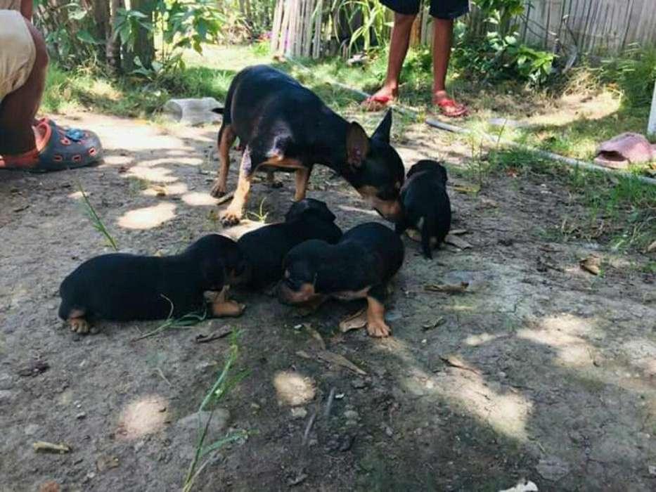 Venta de <strong>cachorro</strong>s Raza Pura