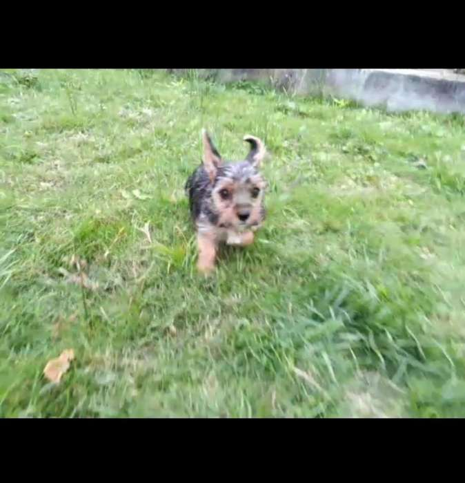 Bellisima Yorkshire Terrier Mimi Toy