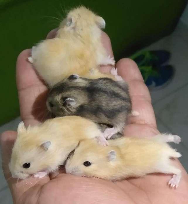 Lindos Hamster Rusos Enanos