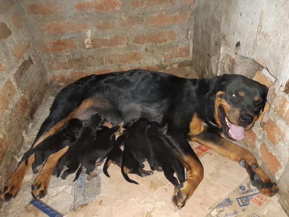 Vendo <strong>perro</strong>s Roswailer de Raza Pura