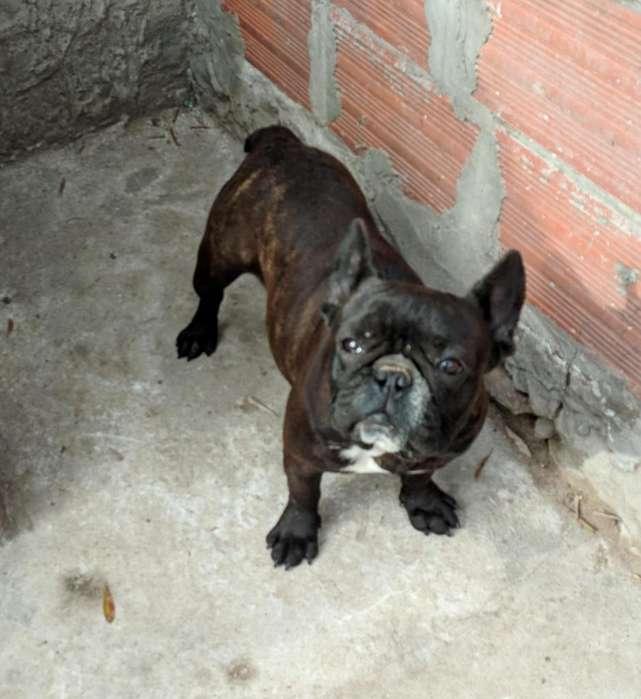<strong>bulldog</strong> Francés Hembra Negra con FCA 24 meses.