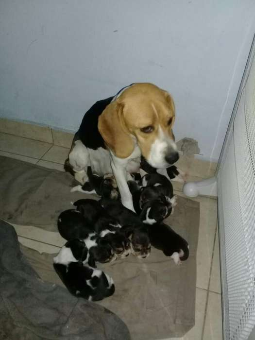 <strong>beagle</strong>s Disponibles