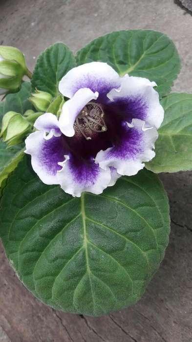 Gloxinia Hermosa. Envios.