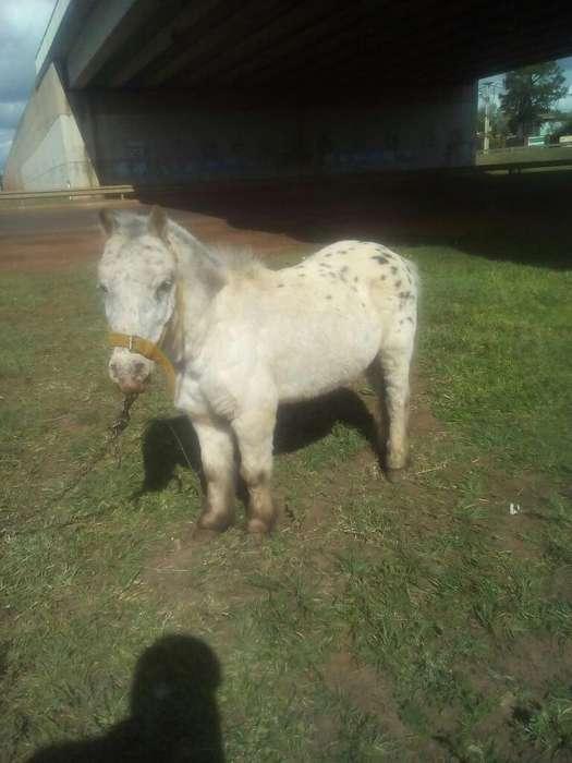Vendo Pony Manzito