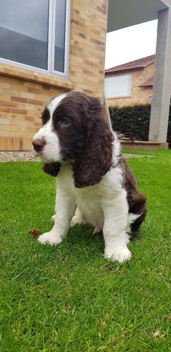 Cachorros Springer Spaniel 2 Meses
