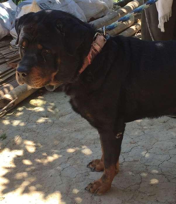 Busco Perrita Rottweiler O Vendo Salto