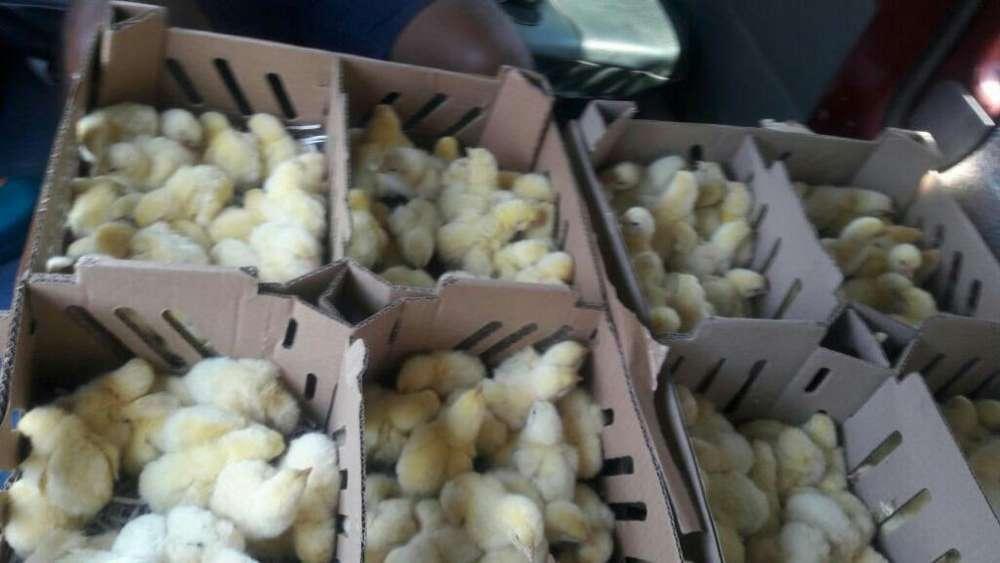 Pollos Bebe pollos bb doble pechuga . pollitos