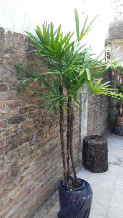 raphis excelsa 500 1,50mtrs