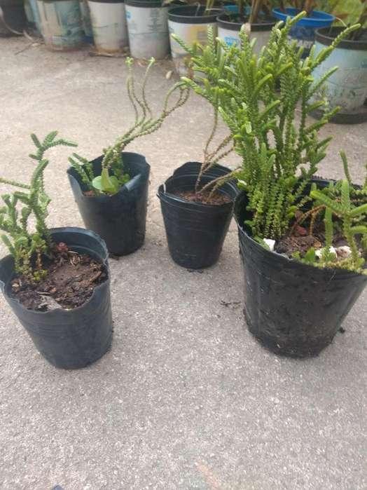 Plantines Suculentas