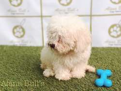 French Poodle Toy Alana Bulls