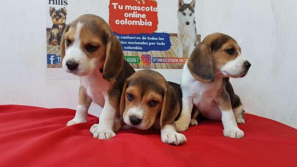 Bebes <strong>beagle</strong> Mini Tricolor Lindisimos