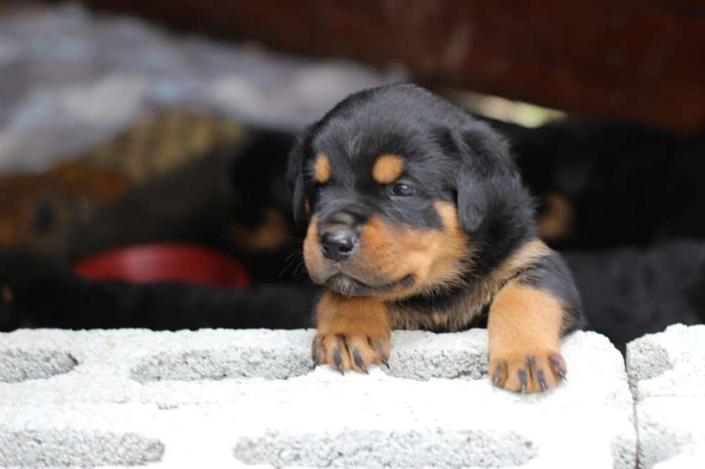 Espectaculares Cachorros <strong>rottweiler</strong>
