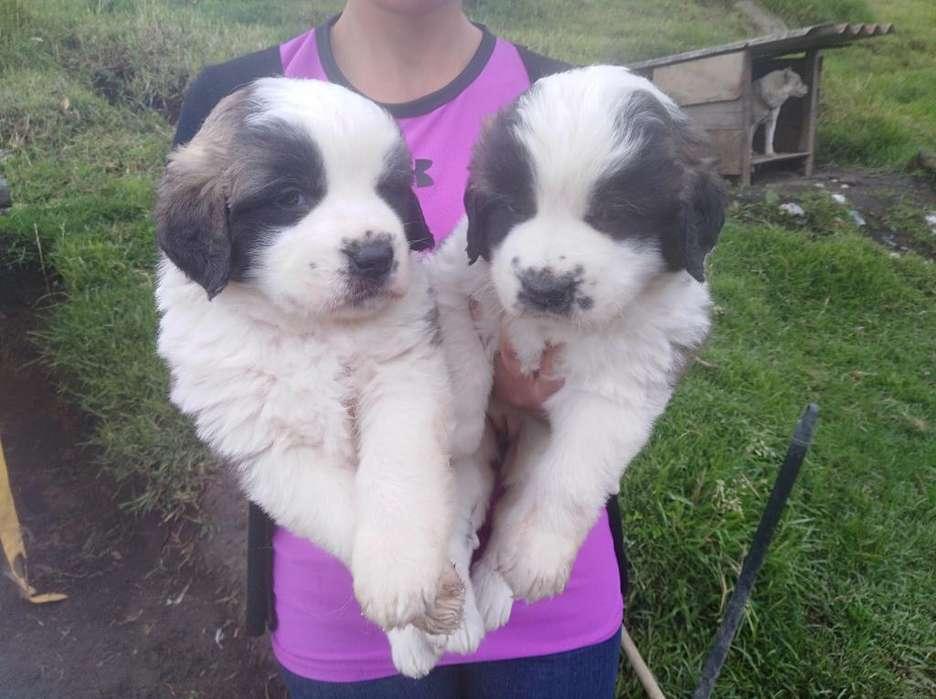 Vendo Hermosas Cachorras San Bernardo