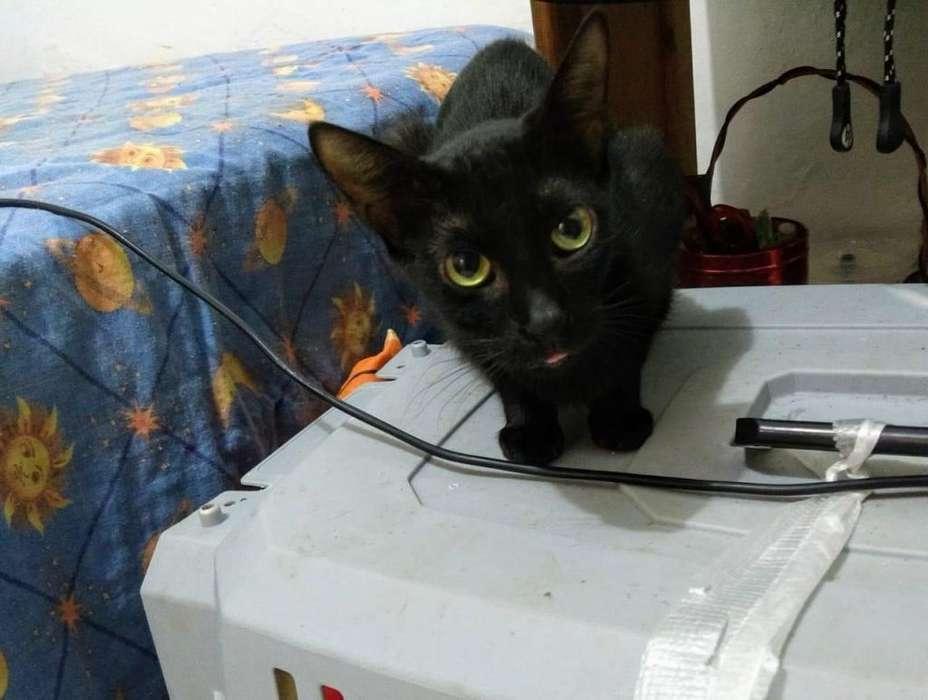 Gatica Negra en Cali busca Adopción es hermosa y muy cariñosa