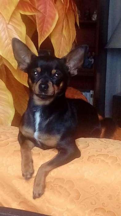 Chihuahua Toy Servicio de Monta