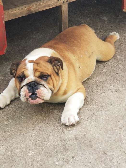 Macho <strong>bulldog</strong> Ingles para Montas