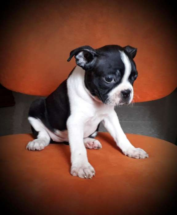 HEMBRA BOSTON <strong>terrier</strong> DISPONIBLE 3168688529