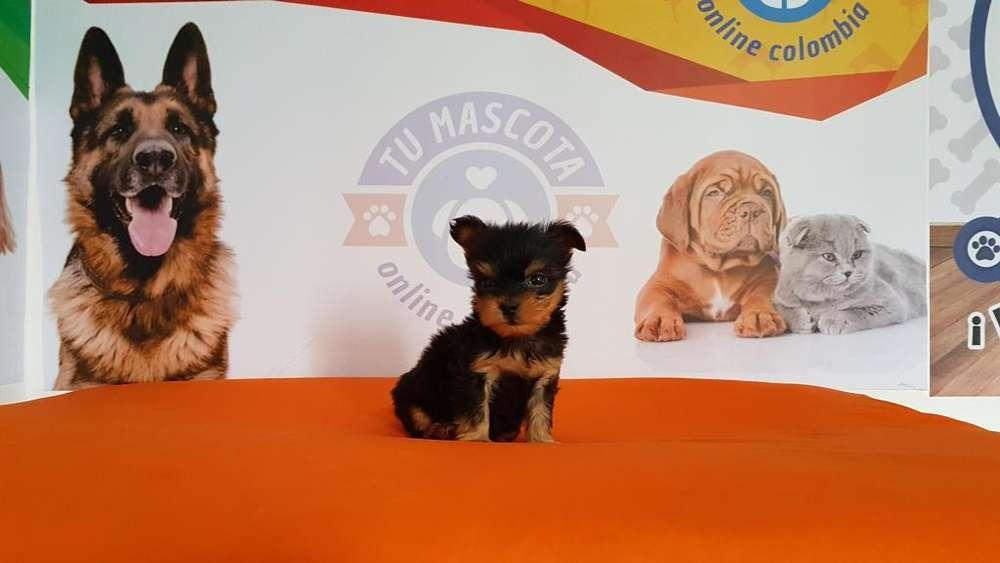 Tacita Yorkshire Macho Terrier a la venta