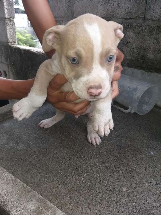 <strong>perro</strong>s Pitbull Hembra Y Macho