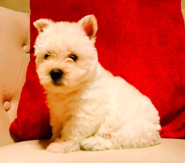 Westh Highland Terrier Con Pedigree