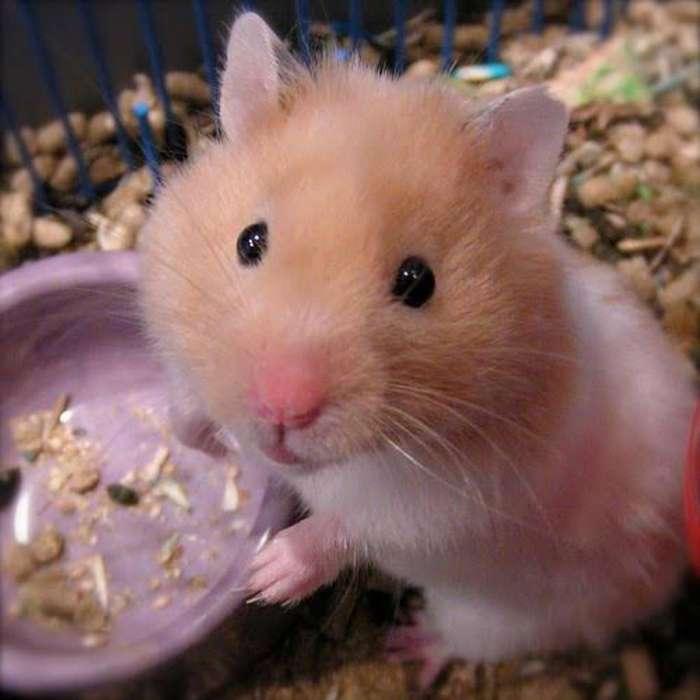 Venta de <strong>hamster</strong>'s Americanos