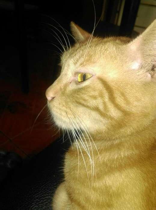 Adopcion Gato Macho Caracter Tranquilo
