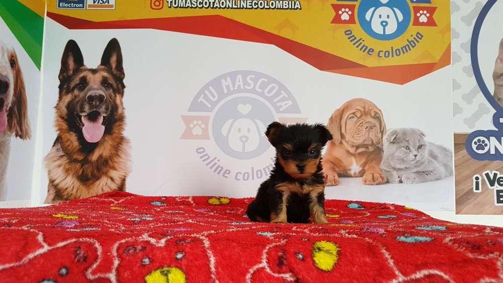 Bebes Yorkshire Terrier Mini Grandioso