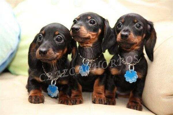 MAGNIFICOS Cachorros dachshund únicosy espectaculares teckel salchichas BELLÍSIMOS ejemplares ALTA CALIDAD ANIMATE