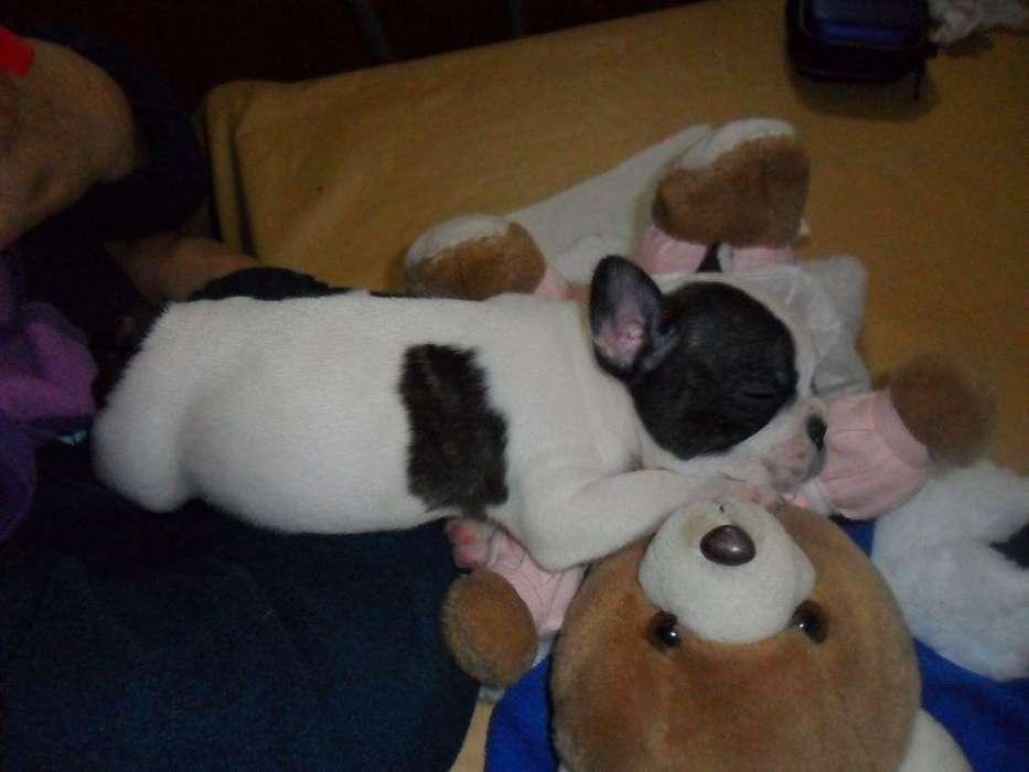 bulldog frances macho con fca