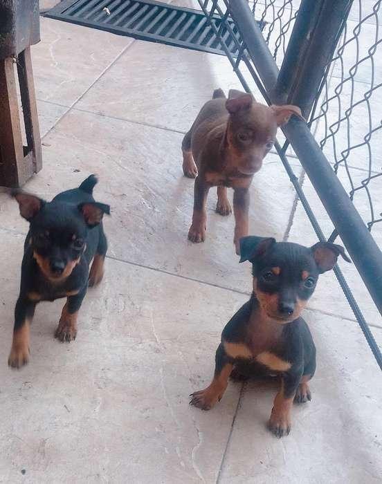 Hermosos Cachorros Pincher