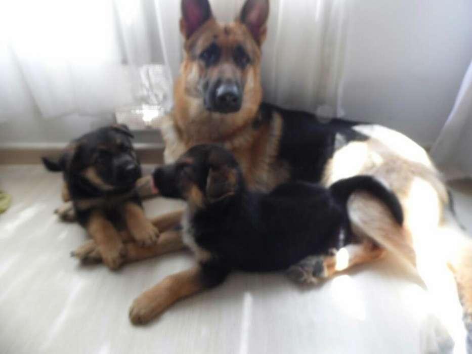 Lindos Cachorritos de Pastor Alemán