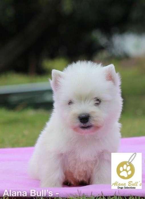 West White Highland Terrier - ALANA BULLS
