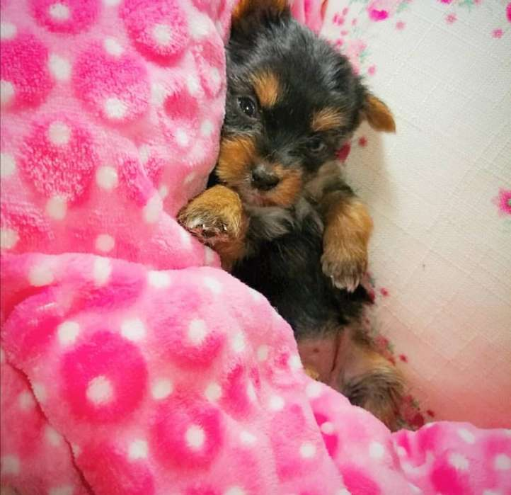 Yorkshire Terrier Minitoy Hembra