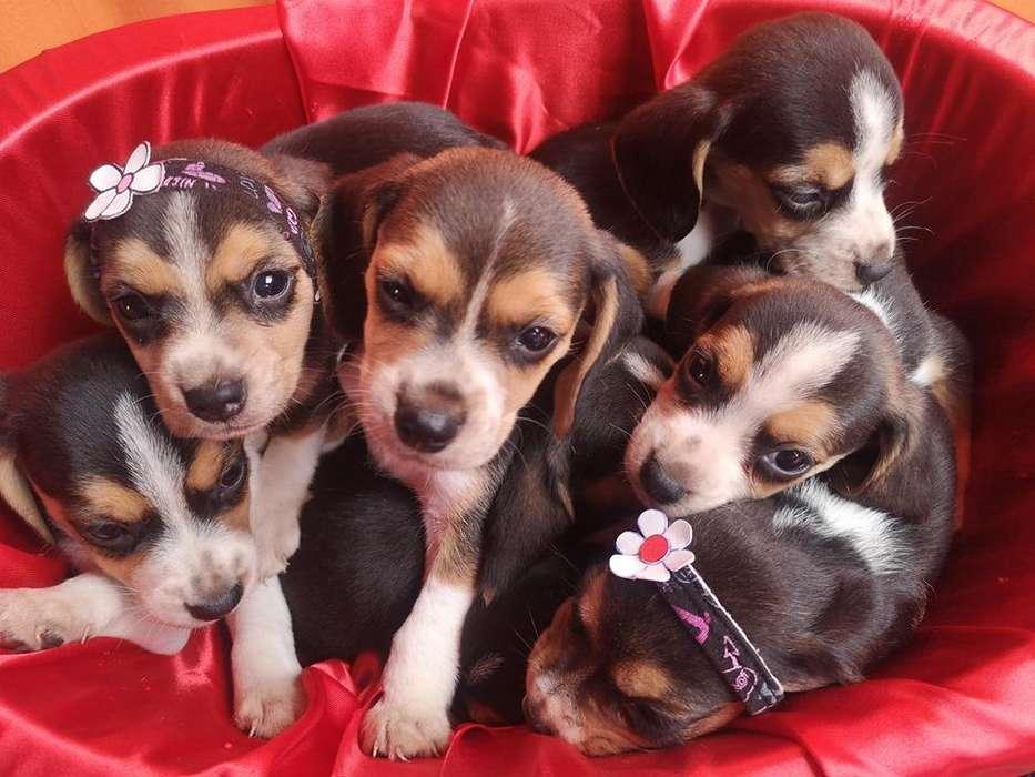 <strong>cachorro</strong>s Beagle Raza Pura